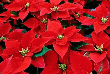 Origem da Flor do Natal