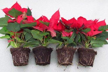 Como cuidar da Flor do Natal